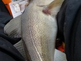 sea fishing cod