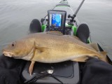 Large kayak caught cod